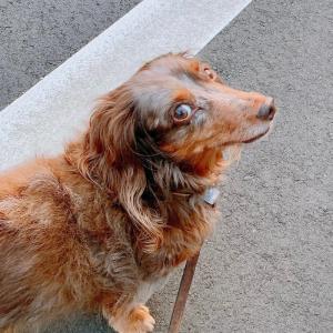 030シニア犬モデル・トリル