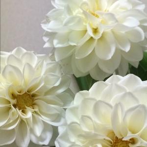 秋の花 ダリア