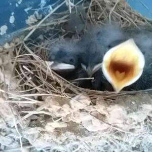 ツバメの巣 生まれました