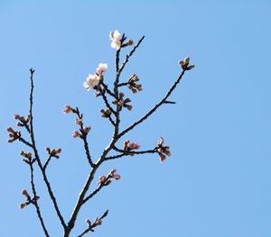 ◆ディズニーランドで小さな春みつけました