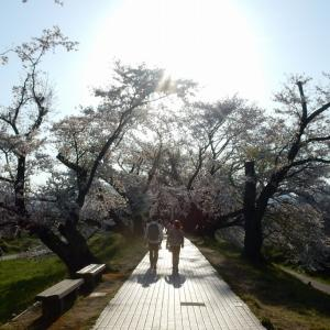 八幡市、背割堤・桜