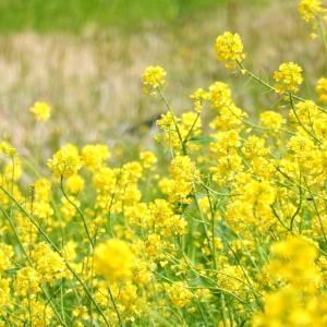 神崎川、淀川、菜の花
