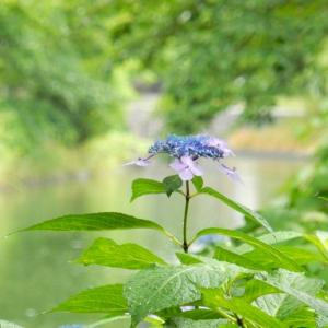 伏見、紫陽花