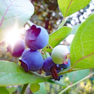 庭の果物いろいろ、今年の収穫は・・・? in ドイツ