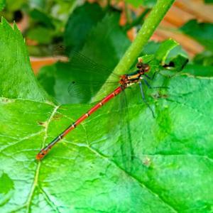 今年も 蜻蛉(トンボ)が出始めました in ドイツ