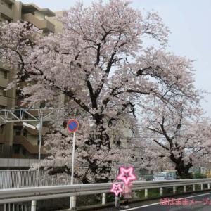 連日お花見散歩♪