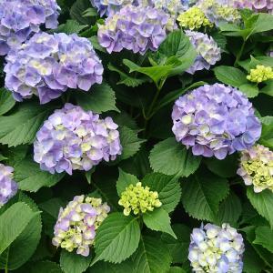 紫陽花の季節になりました