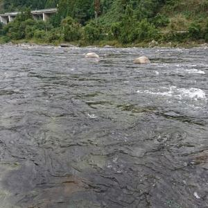 長良川郡上で鮎釣り