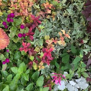 ガーデンシクラメン3種類   +ミニバラ モカ