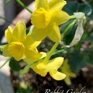 八重咲きオステオスペルマム +雫スイセン サブローサ