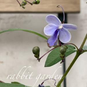 クレロデンドルム ブルーウィング +カフェ時間ありがとう
