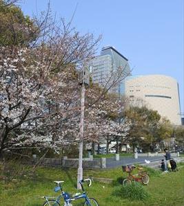 大阪市内の桜