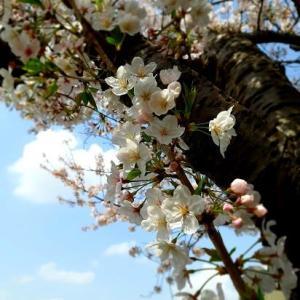 桜 🌸 そして感動のプレゼント