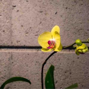 黄色の胡蝶蘭
