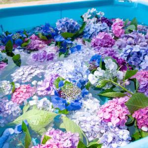 紫陽花プール