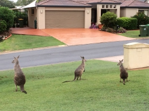 カンガルーが家に遊びに来ました