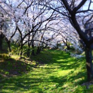 【おでかけ】八幡山古墳と桜