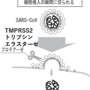 SARS-CoVコロナウイルスの細胞侵入機構(2)―――エンドサイトーシスを経ず、細胞表面から直接侵入の経路も
