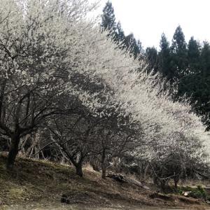 満開の桜をひとりじめ・早朝から犬に起こされ散歩したら得したキャンプ