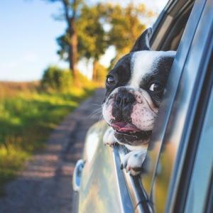 犬連れキャンプ運転中、車窓からのひょっこりと車酔いを防ぐために