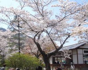 お花見in嵐山