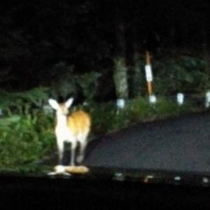 朝五時からトレイルやってふじてんやって1800m級やって高原トレイルやって鹿狩り