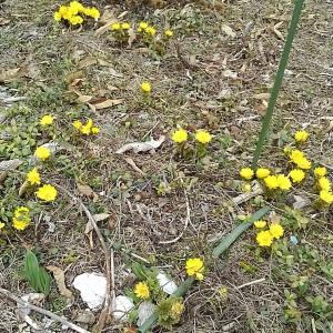 自然薯掘り出して芽出し開始・・・