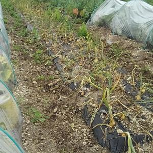 越冬玉ねぎ収穫!