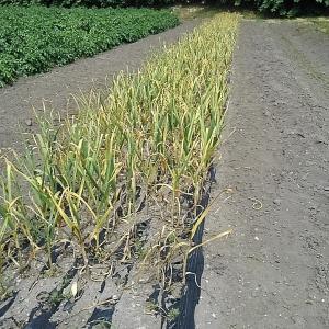 ニンニク収穫開始!