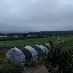 夏のニンジンは干ばつに負けた。