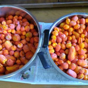 午後からはトマトピューレ加工