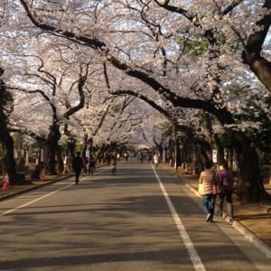 谷中の桜は今週末まで