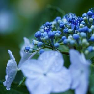 梅雨の花は?