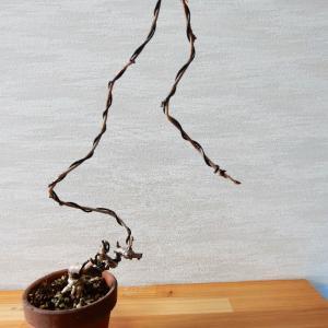 一才アケビの植え替え 高さ31センチ