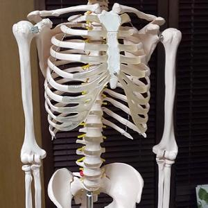 骨格模型で勉強中