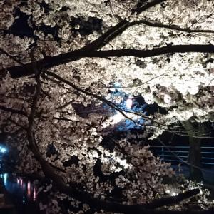 +夜桜とヤマコウバシの新芽+