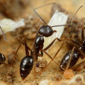 マレーシアの好蟻性ノミバエの一種