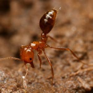 ヒアリの好蟻性ハネカクシと寄生ノミバエ