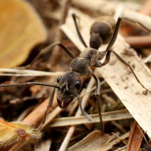 アリがいなくても大丈夫? ミナミアリヅカコオロギ