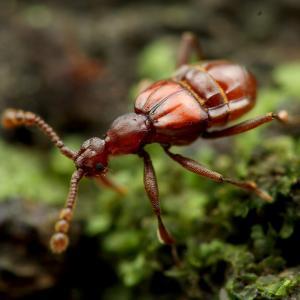 好蟻性ヒゲカタアリヅカムシの仲間たち