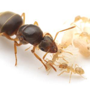 働きアリが羽化したキイロケアリ