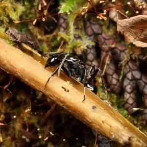 トゲアリの寄生その1「匂い付けと巣への侵入方法」