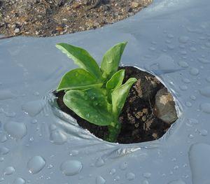 ソラ豆の発芽など