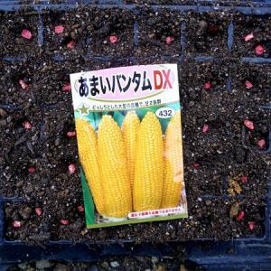 スイートコーンの種蒔きと超極早生玉葱初収穫など