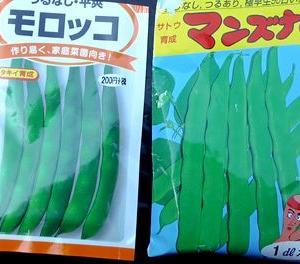 インゲンの種蒔き