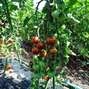 トマトとアップルゴーヤの事など