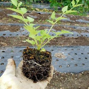 棘なしタラノ木の定植など