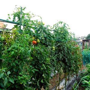 梅雨真っ只中の菜園の様子