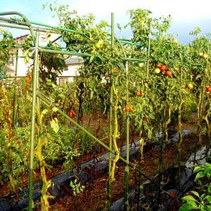 トマトの下葉整理など