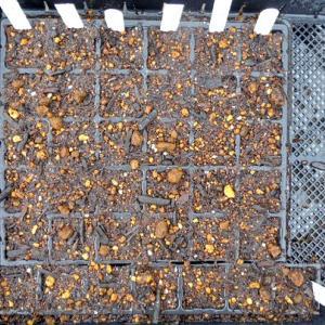 秋冬野菜の種まき等